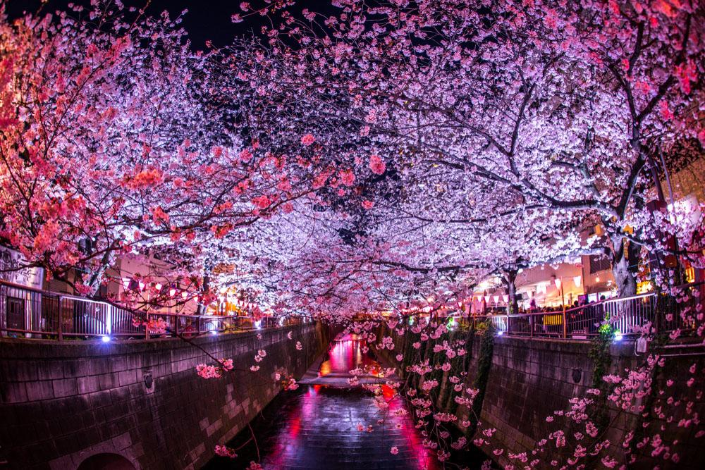 Cherry Blossom Festivals 2019: Meguro River